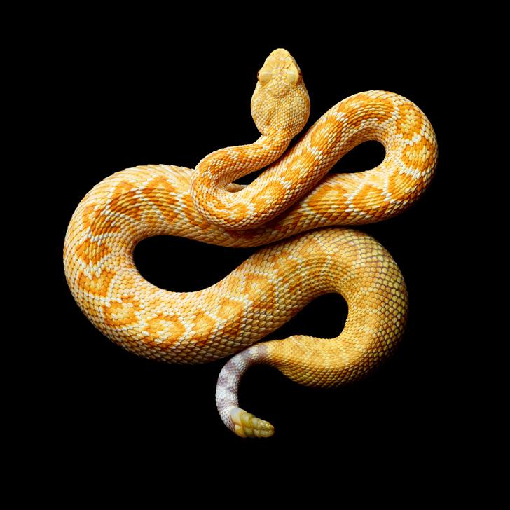 Albino-Western-Diamondback-Rattlesnake-2010-copy