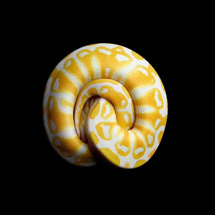 Albyno-Burmese-pythons