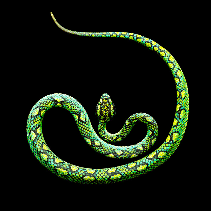 Sri-Lankan-Palm-Viper-2011-copy